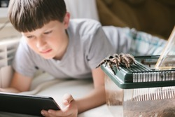 Tarantula escaped from terrarium. child plays on tablet next to pet. boy is looking for information about care of spiders Brachypelma albopilosum at home.