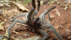 Tarantula fangs. Spider tarantula. Close up female of spider tarantula in wild nature. Largest spider: giant huntsman spider. Arthropods, invertebrates. predator. deadly fangs bite. wildlife, forest