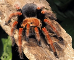 Tarantula, Giant Arthropod or Big Groud Spider in Thailand