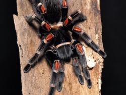 Tarantula, Giant Arthropod or Big Groud Spider in Thailand