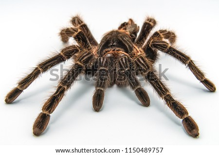 Tarantula Grammostola porteri isolated on white background