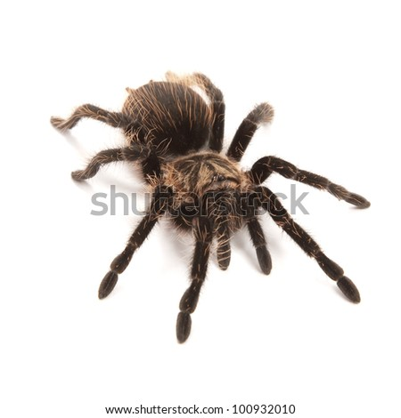 Tarantula isolated on a white background