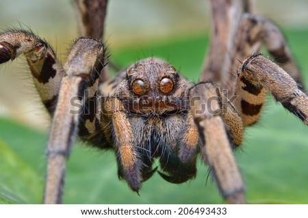 Tarantula lycosa macro spider #206493433