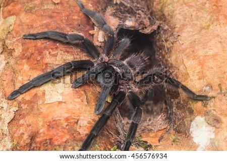 Tarantula of Borneo , Tarantula #456576934
