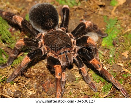 tarantula, orange kneed similar mexican red knee, arenal, costa rica, central america. big hairy spider bird eating creepy crawly Brachypelma smithi