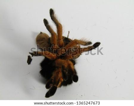 Tarantula shed exoskeleton.