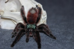 Tarantula sits on a gray background near a white skull. Spider as a symbol of death sits next to a skull. Brown spider sits near  skull and waits.