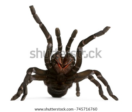 Tarantula spider attacking, Haplopelma Minax, in front of white background #745716760