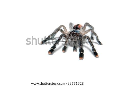 Tarantula spider avicularia metallica isolated on white