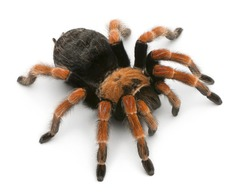 Tarantula spider, Brachypelma Boehmei, in front of white background