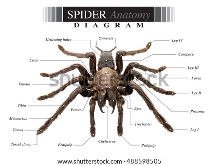 Royalty-free Illustration of a spider anatomy #141162574 Stock Photo ...