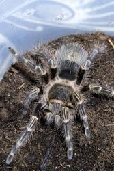 Tarantula Spider Insect Arachnid Crawly