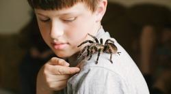 Tarantula spider on boy's shoulder. Scary pet Brachypelma albopilosum plays with child. Caring for animals at home. Arachnophobia.