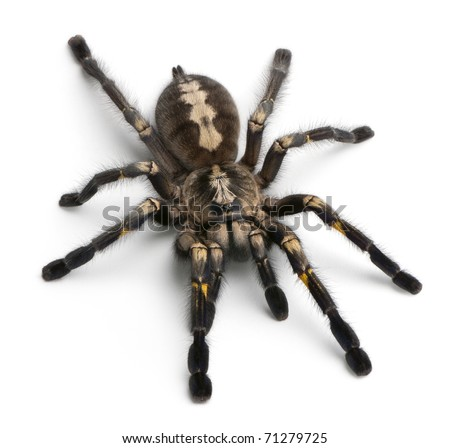 Tarantula spider, Poecilotheria Metallica, in front of white background #71279725