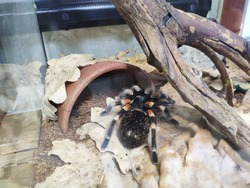 Tarantula spider sits on leaves in terrarium