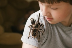 Tarantula spider stretches paw to child's face. brave boy plays with huge spider Brachypelma albopilosum. Treatment of arachnophobia