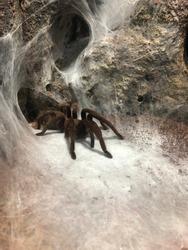 Tarantula spider web creepy crawly