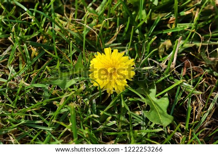 Taraxacum officinale - Beautiful Yellow Dandelion Flower Isolated on White Background. Top view
