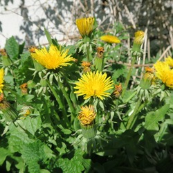 Taraxacum sect. Ruderalia, yellow dandelion bloom, tastes cooked with sugar as bloodcell