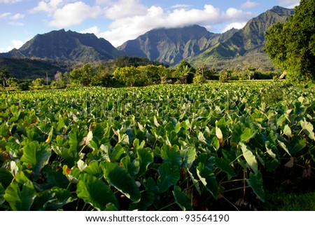 Taro field in Kauai with the Rugged Mountains of the North Shore of Hanalei area in the Background. Taro root for Poi - stock photo