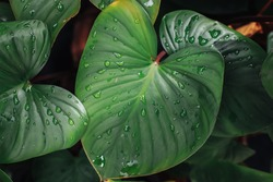 Taro.Giant Taro,Alocasia Indica Green bushes, biennial plants, water weeds that occur in wet tropical. In the garden