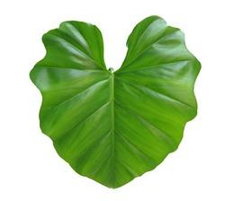 taro leaf isolated on white background