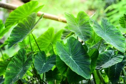 Taro leaves with beautiful lighting