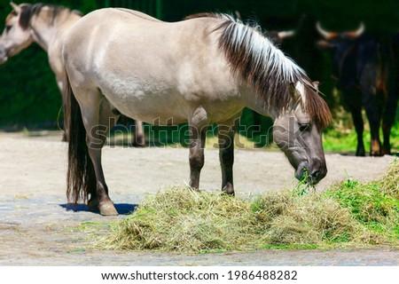 Tarpan Eurasian wild horses , bred-back species   Stok fotoğraf ©