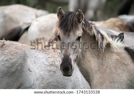 Tarpan horse portrait. Wild horse. Wildlife and nature background. Stok fotoğraf ©
