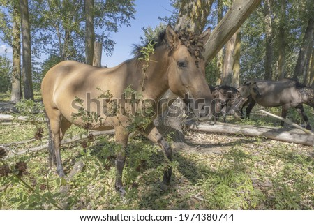 Tarpan wild horses or Hutsul horses in the forest on Tataru island - Regional Landscape Park 'Izmail islands'. Tataru island, Chilia branch Danube Delta, Izmail, Odessa Oblast. Ukraine, Eastern Europe Stok fotoğraf ©