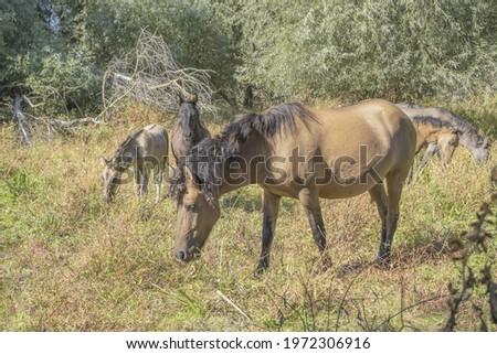 Tarpan wild horses or Hutsul horses on Tataru island - Regional Landscape Park 'Izmail islands'. Tataru island, Chilia branch Danube Delta,  Ukraine, Eastern Europe Stok fotoğraf ©