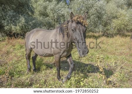 Tarpan wild horses or Hutsul horses on Tataru island - Regional Landscape Park 'Izmail islands'. Tataru island, Chilia branch Danube Delta, Izmail, Odessa Oblast. Ukraine, Eastern Europe Stok fotoğraf ©