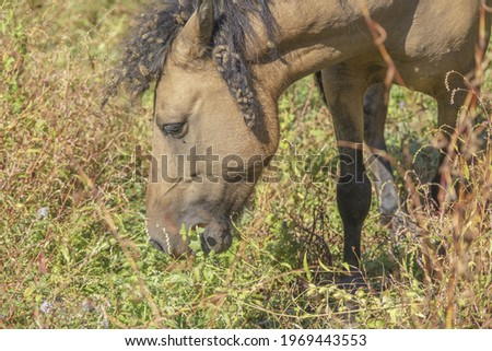 Tarpan wild horses or Hutsul horses released Rewilding Europe  Rewilding Ukraine on Tataru island - Regional Landscape Park 'Izmail islands'. Tataru island, Chilia branch Danube Delta  Stok fotoğraf ©