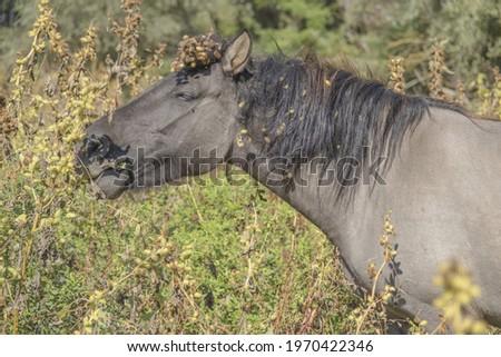 Tarpan wild horses or Hutsul horses released Rewilding Europe  Rewilding Ukraine on Tataru island - Regional Landscape Park 'Izmail islands'. Tataru island, Ukraine, Eastern Europe Stok fotoğraf ©