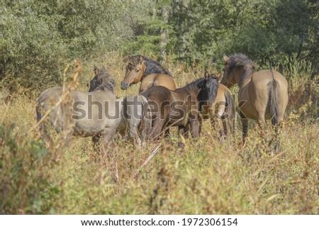 Tarpan wild horses or Hutsul horses released Rewilding Europe  Rewilding Ukraine on Tataru island - Regional Landscape Park 'Izmail islands'. Tataru island, Chilia branch Danube Delta,  Ukraine Stok fotoğraf ©
