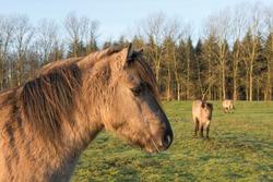 Tarpans (Equus ferus ferus), backcrossing, Wacholderhain Haselünne, Emsland, Lower Saxony, Germany