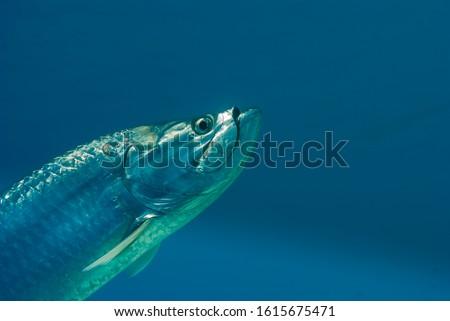 Tarpon head shot on blue background Сток-фото ©
