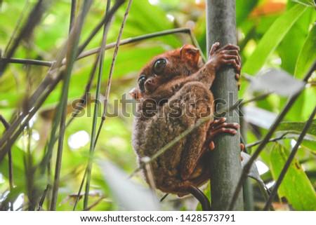Tarsier monkey, an exotic wild mammal in Philippines  #1428573791