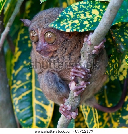 Tarsier on a tree - stock photo