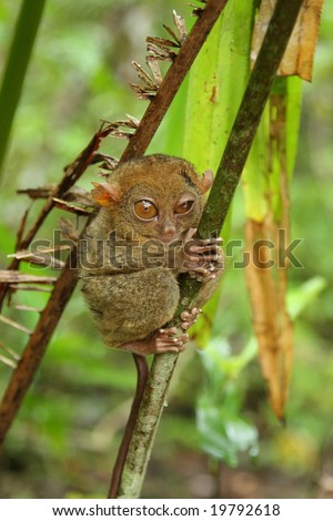 Tarsier photographed in Bohol, philippines