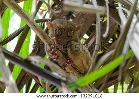 Tarsier sitting in the trees