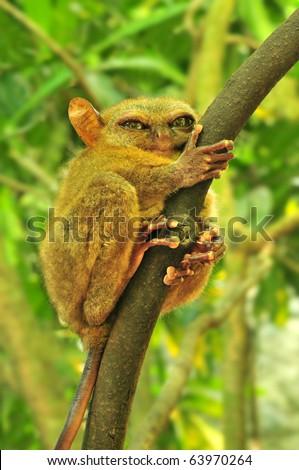 Tarsier (Tarsius Syrichta), the world\'s smallest primate in Bohol, Philippines