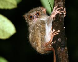 Tarsier (Tarsius Syrichta), worlds smallest primate in the wild, NOT in a zoo. Model for Spielberg's E.T. and Yoda; Tarsier Breeding & Conservation Center (Corella, Bohol, Philippines).