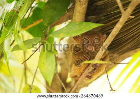 Tarsier the world\'s smallest primate in Bohol, Philippines