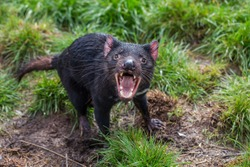 Tasmanian devil acting aggressive with mouth wide open, teeth and tongue visible