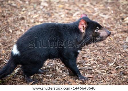 Tasmanian Devil at Bonorong Wildlife Sanctuary, Hobart, Tasmania, Australia #1446643640