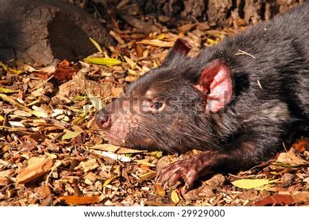 Tasmanian Devil basking in the sunlight - stock photo