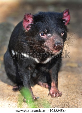 tasmanian devil close up full frame, australia, exotic endangered mammal / marsupial