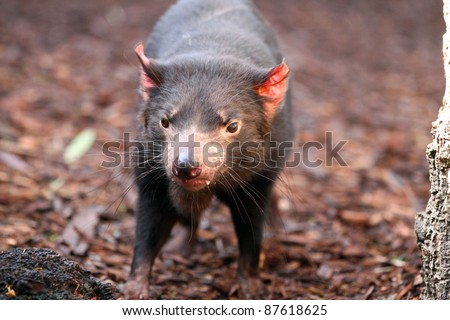 Tasmanian Devil making eye contact - Sarcophilus harrisii