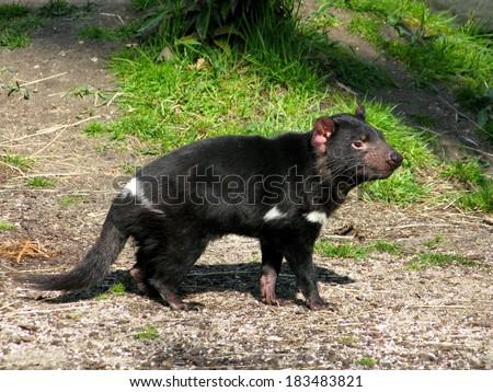 Tasmanian devil, Sarcophilus harrisii - stock photo